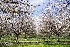 Almond orchard bloom. Late February bloom in an almond orchard in Turlock, California Stock Images