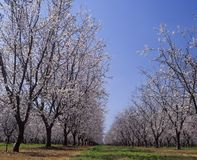 Almond Orchard in blossom LeGrand  Merced County California Royalty Free Stock Image