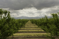 Almond Orchard. An almond orchard on a cloudy spring day in Tracy, California Stock Image