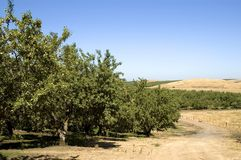 Almond Orchard Landscape Royalty Free Stock Photography