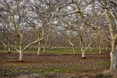 Almond Orchard in Winter Stock Image