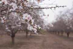 Almond orchards Beautiful Almond flowers on a branch early spring blooming. Almond orchards Beautiful Almond flowers on a branch and blurred almond trees Royalty Free Stock Images