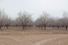 Almond orchards Beautiful Almond trees in a row spring blooming. Grove Royalty Free Stock Image