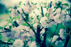 Almond pink flowers Stock Images
