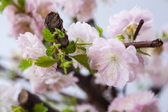 Almond pink flowers Royalty Free Stock Photos