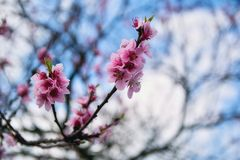 Almond pink flowers Royalty Free Stock Photography