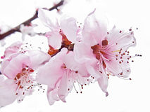 Almond pink flowers immersed in light Stock Photography