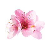 Almond pink flowers isolated on white Royalty Free Stock Photography