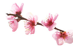 Almond pink flowers Royalty Free Stock Image