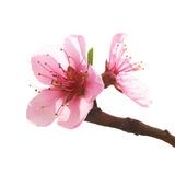 Almond pink flowers Stock Photos