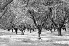 Almond plantation Royalty Free Stock Images