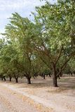 Almond plantation Stock Photography