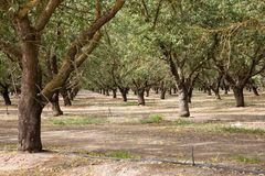 Almond plantation Stock Images