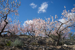 Almond plantation Stock Photos