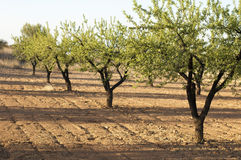 Almond plantation trees Royalty Free Stock Images