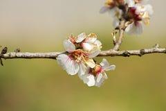 Almond prunus dulcis Royalty Free Stock Photography