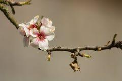 Almond prunus dulcis Royalty Free Stock Image