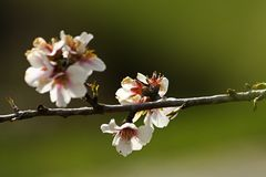 Almond prunus dulcis Royalty Free Stock Photos
