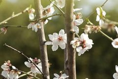 Almond prunus dulcis Royalty Free Stock Images