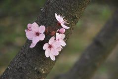 Almond's tree Stock Photos