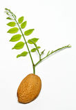 Almond seed with green acacia branch. Brown almond seed with green acacia branch Royalty Free Stock Photography