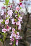 Almond spring flowers on tree branch Royalty Free Stock Images
