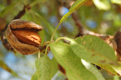 Almond on tree Royalty Free Stock Photos