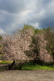 Almond tree. An almond tree in bloom with white-pink flowers Stock Photography