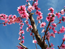 Almond tree. Pink blossoms on almond tree royalty free stock images