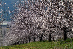 Almond tree Royalty Free Stock Photos