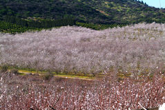 Almond tree. Landscape with almond trees with early blossoms Royalty Free Stock Photography