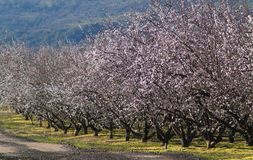 Almond tree. Landscape with almond trees with early blossoms royalty free stock image