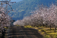 Almond tree. Landscape with almond trees with early blossoms stock photography