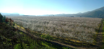 Almond tree. Landscape with almond trees with early blossoms Royalty Free Stock Photos