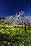 Almond tree. In flower with blue sky of bottom Stock Images