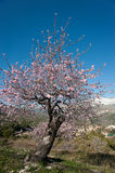 Almond tree. Flowering almond tree in a snowed mountain landscape Stock Image