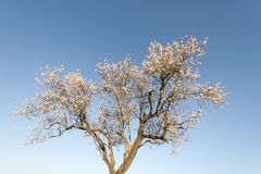 Almond tree. A flowering almond tree in February Royalty Free Stock Photo
