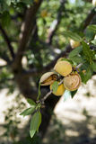 Almond Nuts Still on Tree Farmers Orchard Royalty Free Stock Images