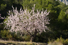 Almond tree. Flowering almond tree against the background of Mediterranean pine forest Stock Image
