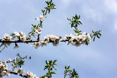 Almond Tree Stock Image