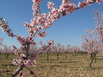 Free Almond Tree Royalty Free Stock Photography - 5884037