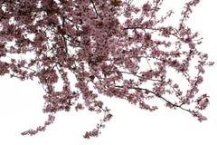 Almond tree. Isolated Stock Photo