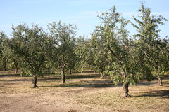 Almond tree. Large grove of almond trees natural background Royalty Free Stock Photo