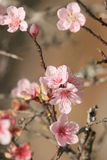 Almond tree. Macro of flowers on a almond tree (shallow DOF Royalty Free Stock Photo