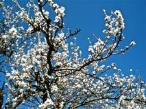 almond tree Royalty Free Stock Photos