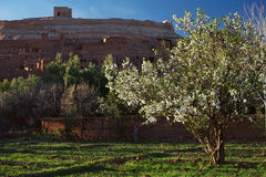 Almond tree and Ait Benhaddou Ksar Kasbah, Morocco Stock Image