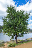 Almond tree on the bank of Hobart`s Derwent estuary Royalty Free Stock Image
