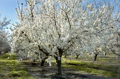 Almond Tree In Bloom Royalty Free Stock Photo