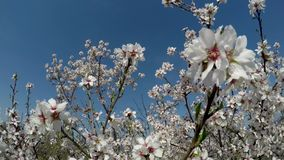 Almond tree in bloom against the background of blue sky. Shooting video with a crane operator stock video footage