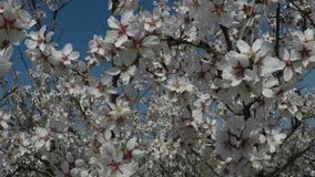 Almond tree in bloom against the background of mountains. Shooting video with a crane operator.  stock footage